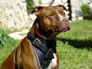 Agitation Leather Dog Harness - Perfect for Pitbull Training