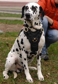 Dalmatian Dog Supplies