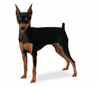 Miniature Pinscher Wire Basket Dog Muzzles Size Chart - Miniature Pinscher muzzle
