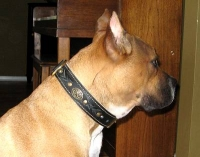 *Bella looks great in our Royal Nappa Padded Hand Made Leather Dog Collar - Fashion Exclusive Design - code  C43