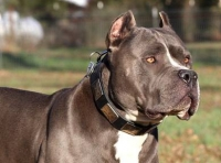 Gorgeous  *Dave  Wearing our War Style  Leather Dog Collar for Pitbulls