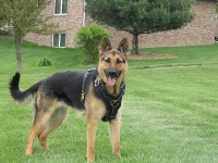 German Shepherd Escape Proof Dog Harness for Agitation and Protection Work