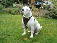 Attack Training Leather Dog Harness Perfect for American Bulldog