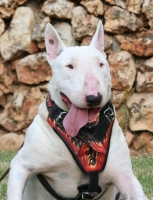 Bull Terrier exclusive FLAMES design leather harness H1(FLAMES)
