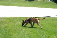 All Weather dog harness for tracking / pulling Designed to fit Belgian Malinois- H6