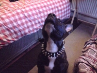 3 Rows Spiked Pitbull Collar