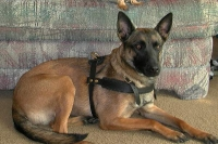 Tracking / Pulling / Agitation Leather Dog Harness For Belgian Malinois H5