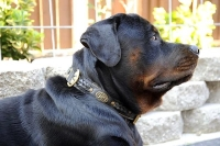 *Jake looks great in our Royal Nappa Padded Hand Made Leather Dog Collar - Fashion Exclusive Design - code  C43