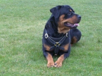 Gorgeous Rottweiler wearing our Tracking / Walking dog harness made of leather H3