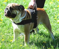 Dog harness for tracking / pulling Designed to fit English Bulldog- H6_1