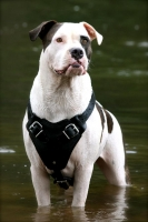 Agitation / Protection / Attack Leather Dog Harness Perfect For Your American Bulldog