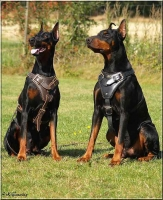 Agitation / Protection / Attack Leather Dog Harness Perfect For Your Doberman H1_1