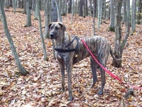 *Olivia wearing our exclusive Tracking / Pulling / Agitation Leather Harness for big dog Great Dane H5