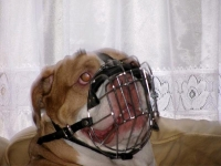 *Duke wearing our exclusive Wire Basket Dog Muzzles Size Chart Boxer muzzle M4