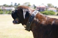 *Kaiser wearing our exclusive Royal Nappa Padded Hand Made Leather Dog Collar - Fashion Exclusive Design - code  C43