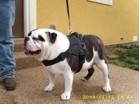 *MACK wearing our exclusive Dog harness for tracking / pulling Designed to fit English Bulldog- H6
