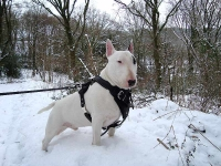 Diesel wearing our exclusive Agitation / Protection / Attack Leather Dog Harness H1