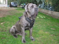 *Ares wearing our exclusive Luxury Handcrafted Padded Leather Dog Harness Perfect for your Neopolitan Mastiff H10