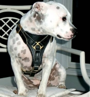 Gorgeous Staffordshire Bull Terrier *Sophie wearing our Tracking / Walking dog harness made of leather H3