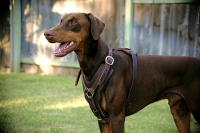 Exclusive Luxurious Handcrafted Padded Leather Dog Harness Perfect  for your Doberman H10_2