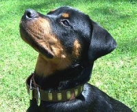 Doggie wearing our Gorgeous Wide Leather Dog Collar - Fashion Exclusive Design