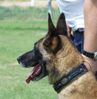 Wide Nappa Padded Leather Dog Collar for Belgian Malinois Training/Walking