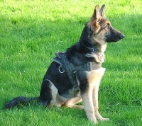 Kira wearing our All Weather dog harness for tracking / pulling Designed to fit German Shepherd - H6
