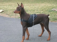 Practical  Nylon Doberman Harness for Any Task