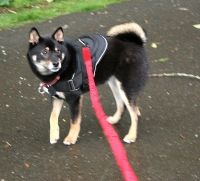 All Weather dog harness for tracking / pulling Designed to fit Shiba- H6