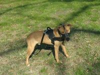 Designed to fit Pitbul-All Weather dog harness for tracking / pulling .