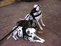 All Weather Nylon Dalmatian Harness for Tracking / Walking