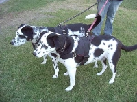 Any Weather Nylon Dog Harness Designed to Ft Dalmatian  - H6_1