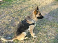 Any Weather Nylon Canine Harness with Heavy Duty Handle for Tracking, Training and Walking
