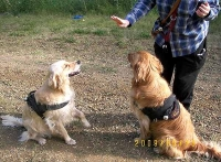 *Joy&Hope wearing our All Weather dog harness for tracking / pulling Designed to fit Golden Retriever- H6