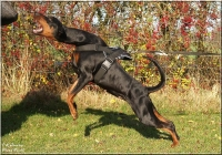 Tracking and Pulling Nylon Dog Harness for Doberman and Other Large Dogs