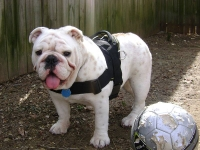Balah wearing our exclusive dog harness for tracking/pulling Designed to fit English Bulldog- H6