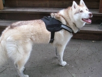 Siberian Husky  wearing our exclusive All Weather Reflective harness H6plus