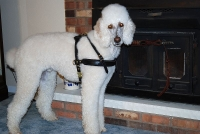 Louie wearing our exclusive Tracking / Pulling / Agitation Leather Dog Harness For Poodle H5
