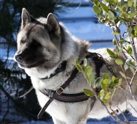 Super Light Leather Canine Harness for Pulling and Tracking - Presented By Akita Inu Kochece