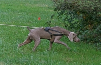 *Logan wearing our exclusive Tracking / Pulling / Agitation Leather Dog Harness For Weimaraner H5