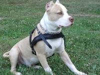 Tracking / Pulling / Agitation Leather Dog Harness For Pitbull H5_1