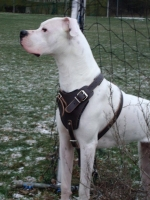 Perfect Quality Leather Canine Harness for Agitation/Protection/Attack Training/ Walking
