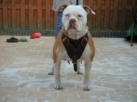 Agitation / Protection / Attack Leather Dog Harness Perfect For Your Pitbull H1_1