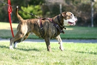 Training Leather Dog Harness Perfect For Your American Bulldog H1