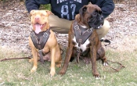 Agitation / Protection / Attack Leather Dog Harness Perfect For Your Pit Bulls H1