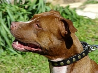 Fashionable  Leather Pitbull  Collar with Brass Studs