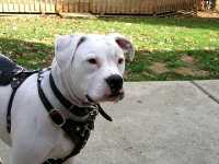 Great looking American bulldog wearing our Luxury handcrafted leather dog harness H3