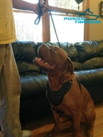 Gorgeous Dogue de Bordeaux  Wearing  Studded Leather Dog Harness
