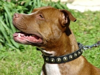 Glamorous Leather Pitbull Collar with Button-like Brass Studs