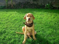 *Riley wearing our exclusive 2 ply leather agitation dog collar-C33NH